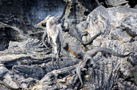 Great Blue Heron and Marine Iguanas