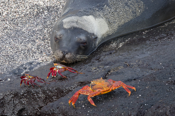 Seal and Sally Lightfoot Crabs